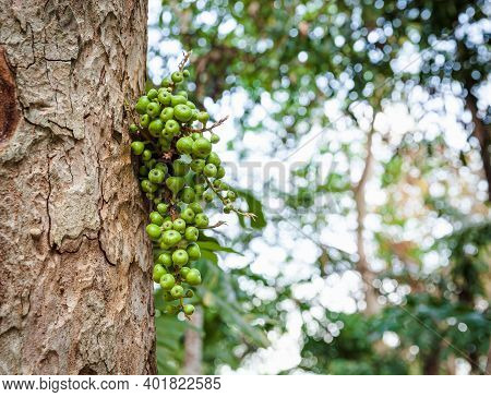 Bunch Of Green Raw Cluster Fig (ficus Racemosa) On The Tree In Forest. Fruiting Fig Tree In Nature.
