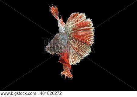 Rhythmic Of Betta Fish, Siamese Fighting Fish Betta Splendens (halfmoon Red Dragon Betta ),isolated
