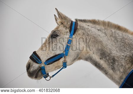 Portrait Of The Head Of A Gray Arabian Horse On A Light Background, Profile Of A Beautiful Thoroughb