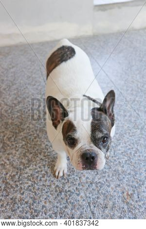 Absent Minded French Bulldog Or French Bulldog