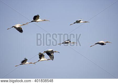 Wood Stork, Mycteria Americana, Group In Flight, Los Lianos In Venezuela