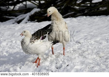 Andean Goose, Chloephaga Melanoptera, Pair Standing On Snow