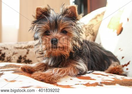 A Cute Young Yorkshire Terrier Girl Is Posing On The Sofa.