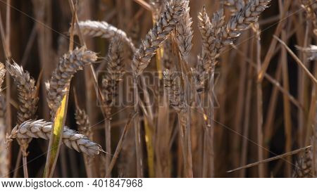 Selective Focus To Ripe Ears Of Wheat On Long Stalks In Golden Hour Sunlight. Agricultural Wheat Gra
