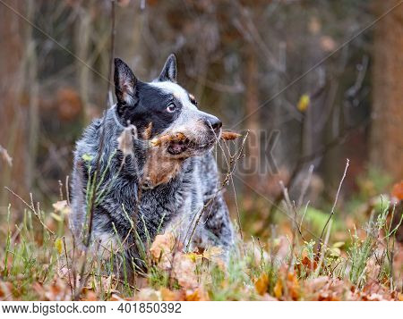 Happy Cattle Dog Fetching And Biting Stick In Colorful Autumn Forest. Dog Portrait With Shallow Leav