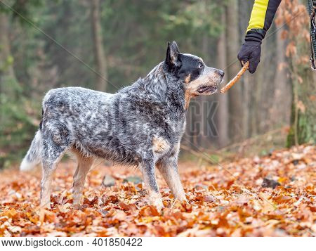 Happy Cattle Dog Fetching A Stick In Colorful Autumn Forest. Dog Portrait With Shallow Leaves Backgr