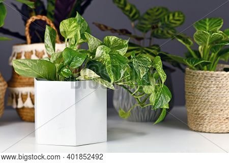 Tropical 'epipremnum Aureum Marble Queen' Pothos Houseplant With White Variegation In Flower Pot In