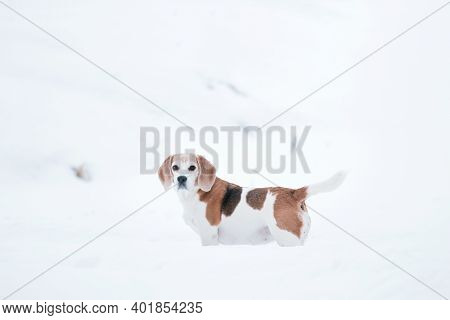 Beagle Dog On A Walk In A Winter. Beagle On A White Snow Background