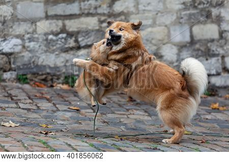 Same Colored Elo Dog And A German Miniature Spitz Playing Togetheroutdoor