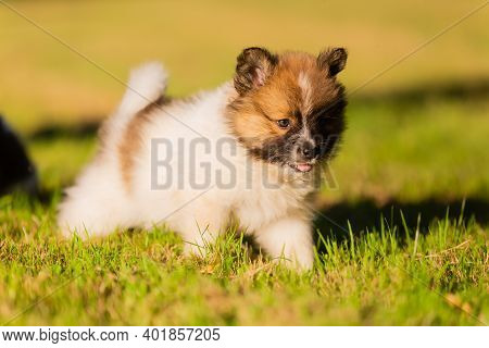 Cute Elo Puppy On A Meadow