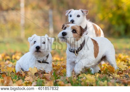 Three Parson Russell Terrier On An Autumnal Meadow