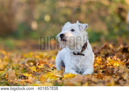 Parson Russell Terrier On An Autumnal Meadow