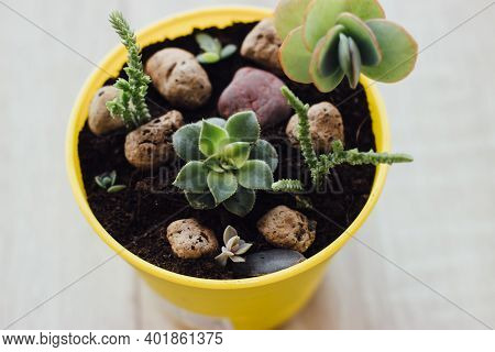 Several Succulents Grow In One Pot. Indoor Plants In A Bright Yellow Pot. Bright Pots With Small Pla