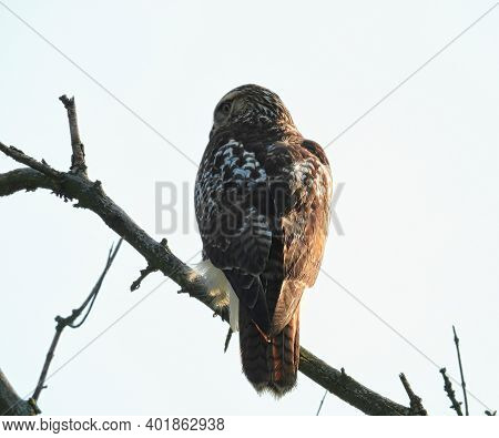Red Tailed Hawk Perched On Branch: Looking Off To The Side On A Cloudy Morning This Red Tailed Hawk