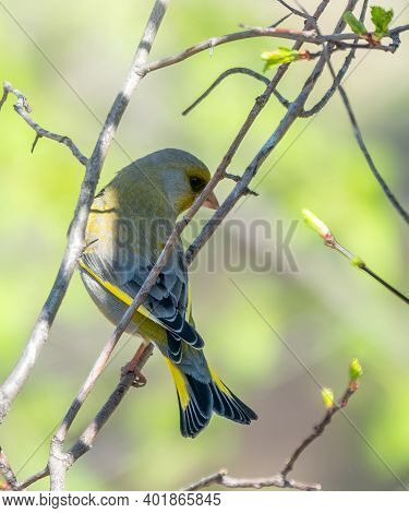 Green And Yellow Songbird, European Greenfinch Sitting On A Branch In Spring. The European Greenfinc