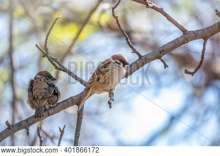 Sparrow Sits On A Branch In Spring On Blue Sky Background. Sparrow On A Branch In The Spring