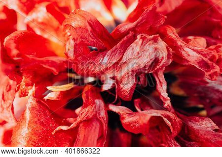 Vintage Realistic Closeup Of Dried Red Flower For Wallpaper Design. Bloggers Design Concept. Symbol