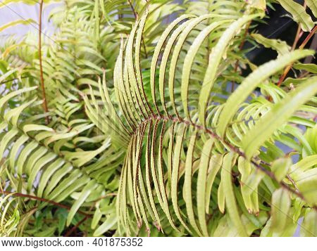 Beautiful Natural Fern. Floral Background. Perfect Fern Pattern. Beautiful Background Of Young Green