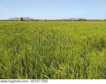 Rice Field Landscape. Closeup Of Paddy Rice Field With Green Leaf. Organic Rice Fields Or Paddy Fiel