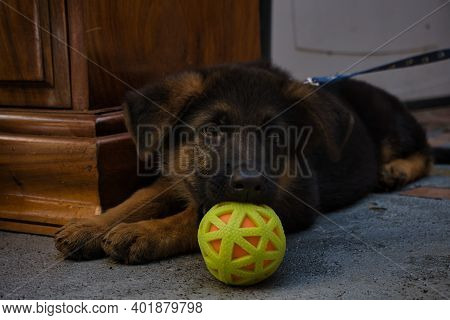 A German Shepard Puppy Lying With A Ball Near Of His Snout