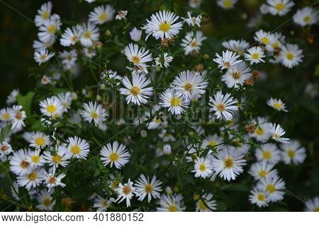 Aster Ericoides White Heath Asters Flowering Plants, Beautiful Bunch Of Autumnal Flowers In Bloom