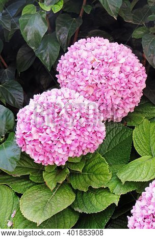 Close Up Of Pinkish Hydrangeas In The Garden. Aerial View Of Hydrangea Roses In Natural Environment.
