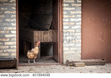 Young Brown Hen Or Chicken Walking Alone In The Henhouse On A Farmyard Of A Rural Agricultural Farm