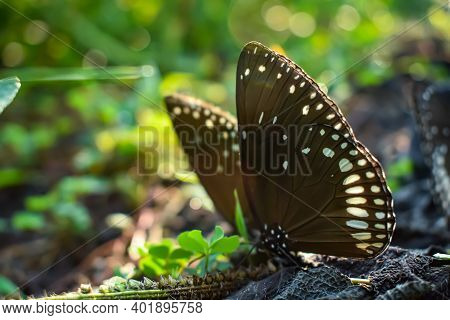 Euploea Core, The Common Crow,is A Common Butterfly Found In South Asia To Australia. In India It Is