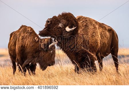 Male Bison Bucks Head Over Female In Plains Of South Dakota Near Badlands National Park