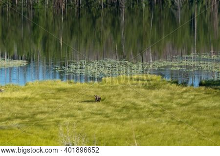 Moose Stands At Attention In Tall Green Grass Along Howe Lake In Glacier National Park