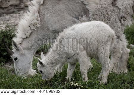 Mountain Goat Heading Down Hill On Trail In Glacier National Park Goat Kid Grazes Along Side Mother