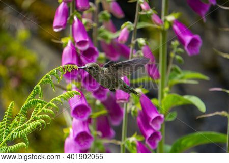 Pink Foxglove Attraction The Attention Of A Hummingbird