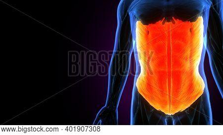 3d Illustration Of Human External Oblique Anatomy.