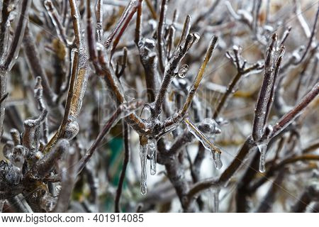 Winter Icing. Freezing Rain. Bare Brown Branches Of Trees In Ice On Blurred Gray Natural Background.