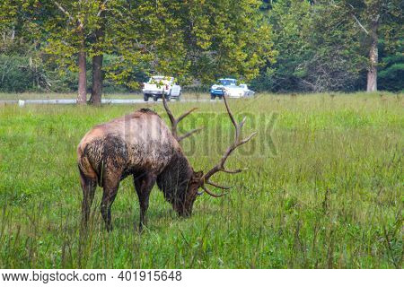 Large Bull Elk Grazing By The Roadside With Traffic Going By In The Cataloochee Area Of The Great Sm