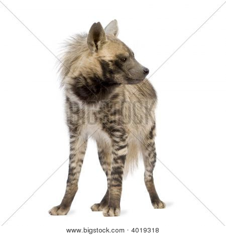 Striped Hyena in front of a white background poster