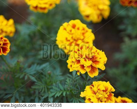 African Marigold, American Or Aztec Marigolds Flower Beautiful Yellow Mix Orange Color Flowers Growi
