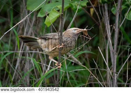A Yellow-billed Babbler (turdoides Affinis), With A Meal In It's Beak And Perched On A Branch In The