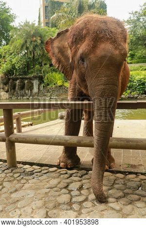 A Sumatran Elephant At The Zoo Park, Bali, Indonesia