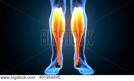 3d Illustration Of Gastronomic Part Of Legs Muscle Anatomy
