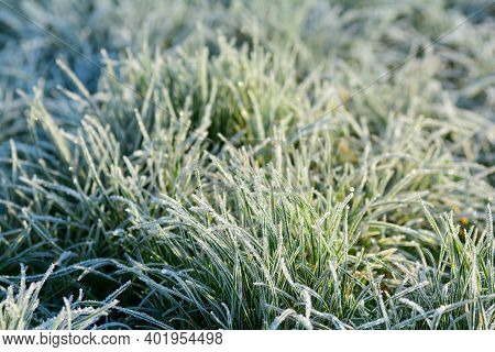 Green Grass With Hoar Frost On A Cold Winter Day In Sunlight