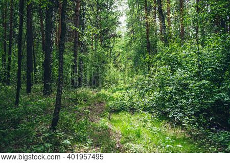 Thickets In Dense Forest. Scenic View With Contrasts Of Deep Forest. Beautiful Woody Landscape Surro