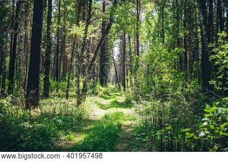 Thickets In Dense Forest. Scenic Sunny View With Contrasts Of Forest. Beautiful Woody Landscape Surr