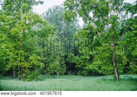 Scenic Vivid Green Forest Landscape. Beautiful Vegetation Wall Of Trees Leaves On Forest Edge. Natur