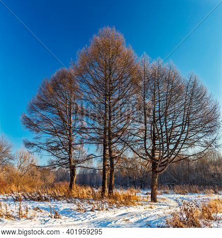 Three Larch Trees On A Frosty And Sunny Winter Day