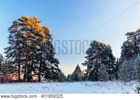 Pine Trees On A On A Frosty Winter Evening At Sunset