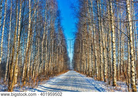 Road In A Birch Grove On A Sunny Winter Day