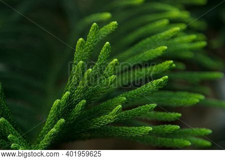Green Prickly Branches Of A Fur-tree Or Pine Leaf. Christmas Tree, Araucaria Tree Or Monkey Puzzle T