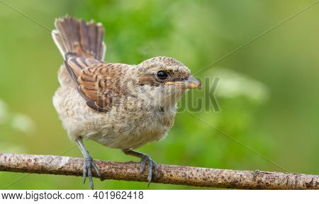 Red-backed Shrike, Lanius Collurio. A Chick, A Young Bird Sits On A Branch, Opening Its Tail Like A