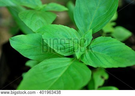 Basil Is An Important Plant For Food.